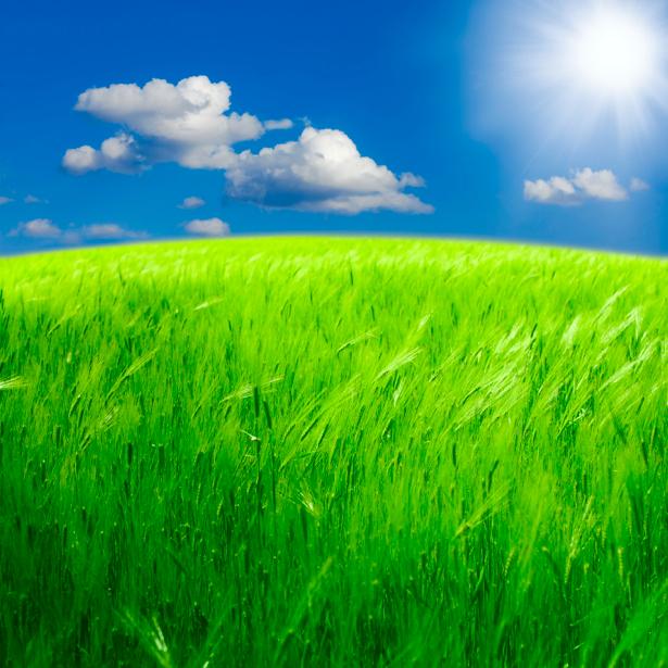 Фотообои зеленая пшеница на поле (nature-00324)