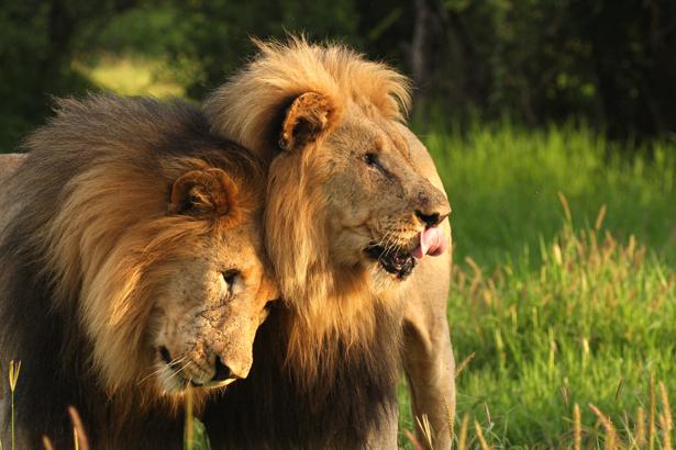 Фотообои лев и львица (animals-0000161)
