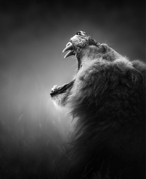 Фотообои черно-белое фото лев пасть (animals-0000374)