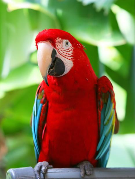 Фотообои попугай Жако красный (animals-0000412)
