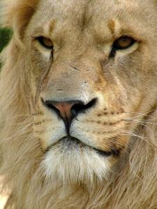 Фотообои Лев фото (animals-0000455)