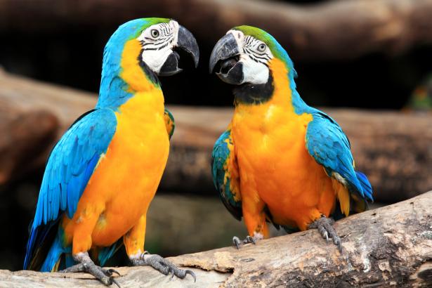 Фотообои пара попугаи ара (animals-0000487)