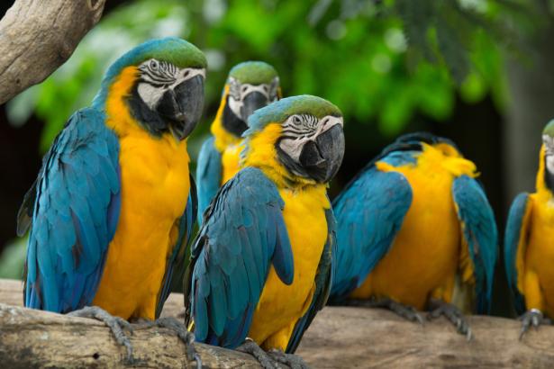 Фотообои попугаи ара на дереве (animals-0000494)