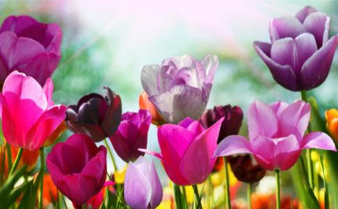 Разноцветные тюльпаны Обои для стен фото (flowers-0000128)