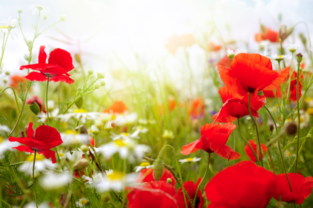 Маки и ромашки - Фотообои на стену (flowers-0000216)