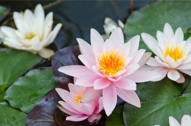 Фото обои для стен лилии на воде (flowers-0000612)