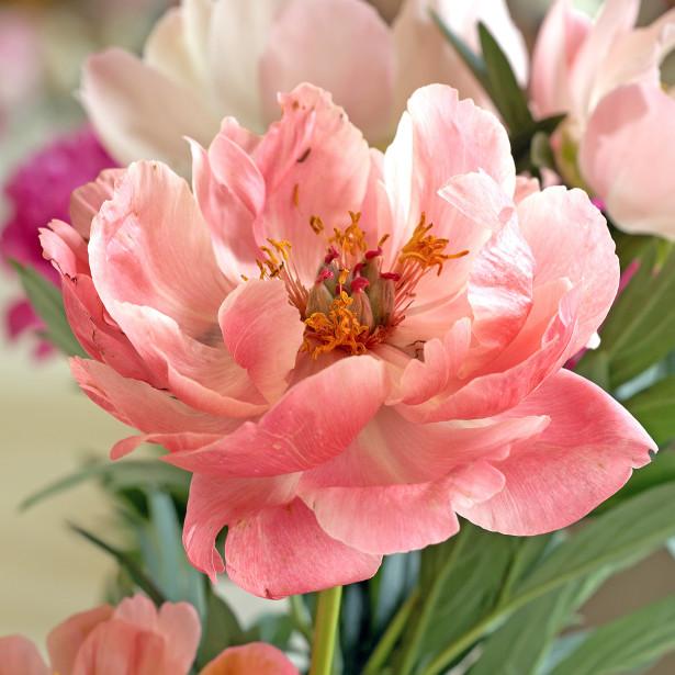 Фотообои цветок пиона (flowers-776)