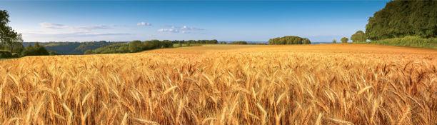 Фотообои поле пшеницы фото (nature-0000867)