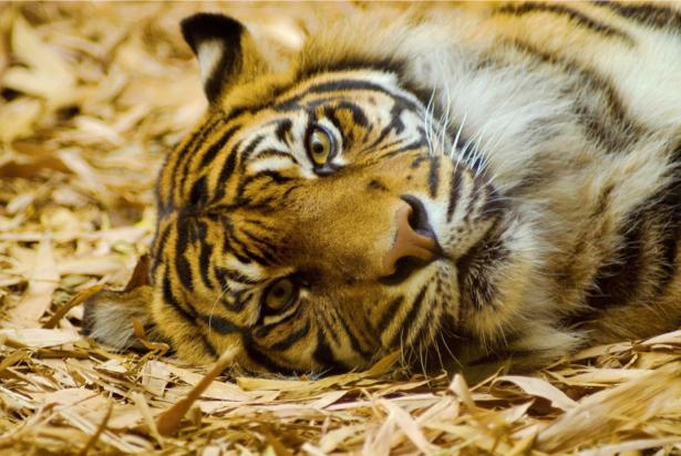 Фотообои тигр на отдыхе (animals-0000171)