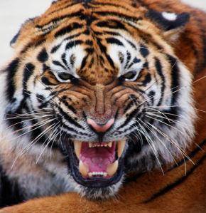 Фотообои тигр добряк (animals-0000180)