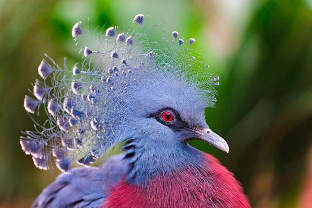 Фотообои веероносный венценосный голубь (animals-0000242)