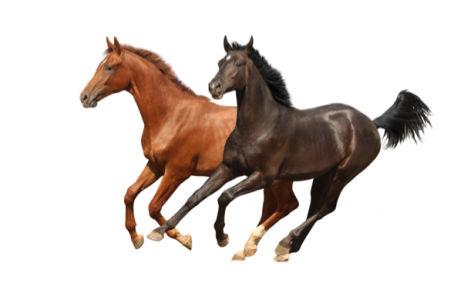 Фотообои лошади гнедые на белом фоне (animals-0000281)