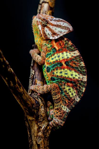 Фотообои разноцветный хамелеон (animals-0000292)