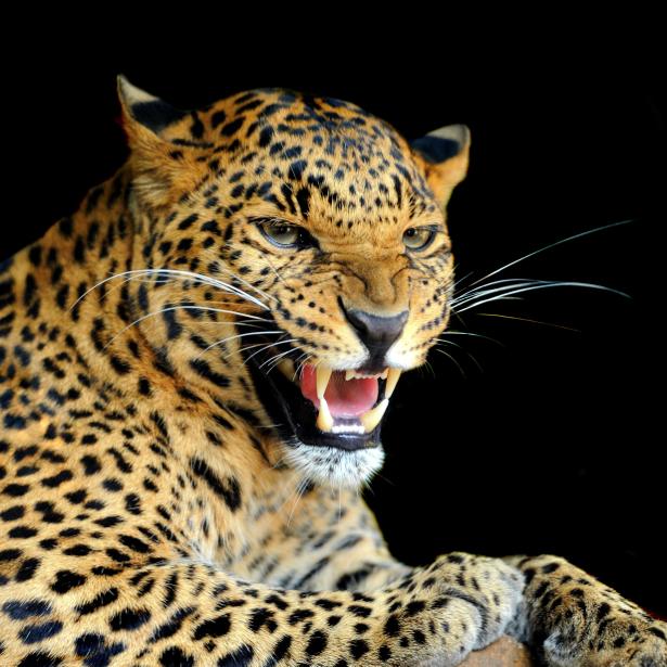Фотообои леопард на черном (animals-0000309)