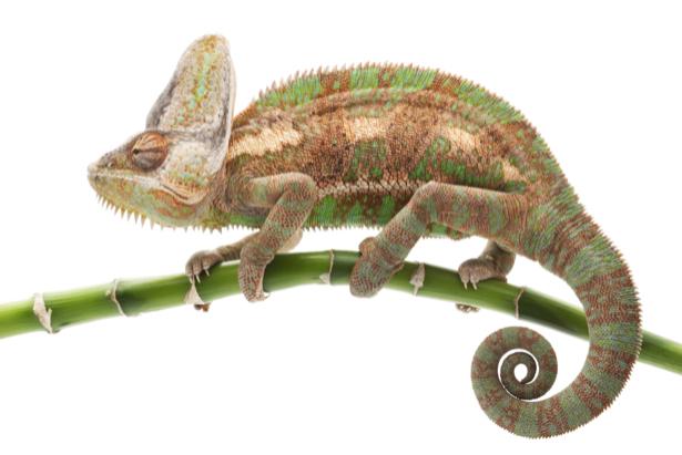 Фотообои хамелеон на ветке (animals-0000356)