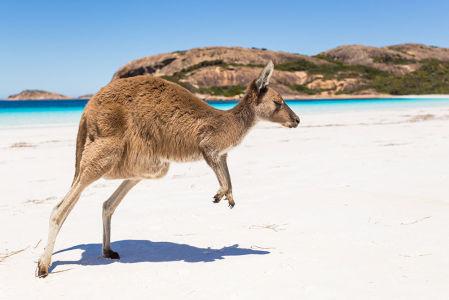 Фотообои Кенгуру на пляже (animals-580)