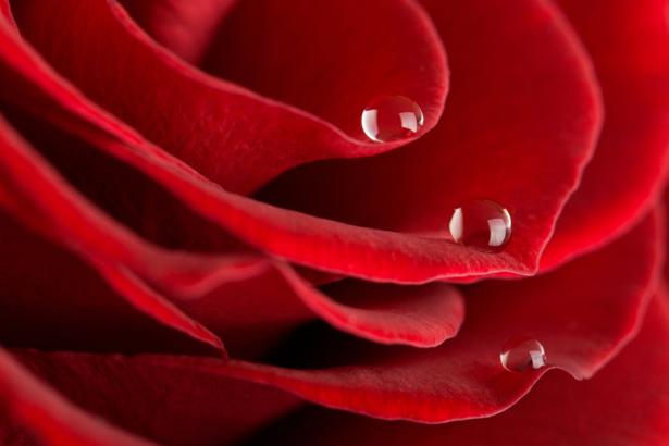 Красивые цветы фотообои Алая, красная роза (flowers-0000080)
