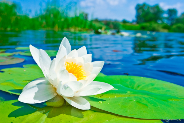 Фотообои цветок - лилия белая (flowers-0000312)