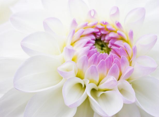 Обои фото Бутон белого пиона (flowers-0000333)