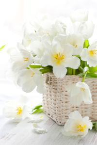 Обои фото цветы белые тюльпаны в корзине (flowers-0000447)