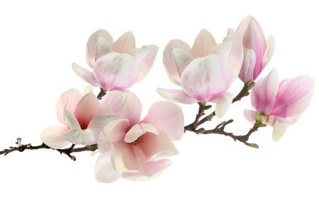 Фотообои Магнолия (flowers-805)