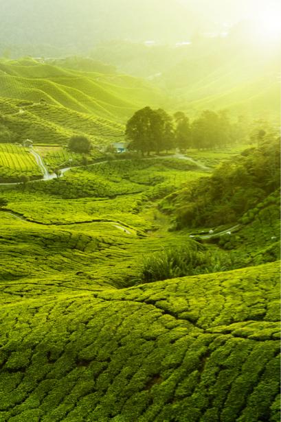 Фотообои чайное поле чай (nature-0000634)