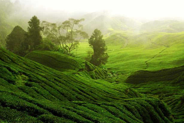 Фотообои чайные террасы (nature-0000636)