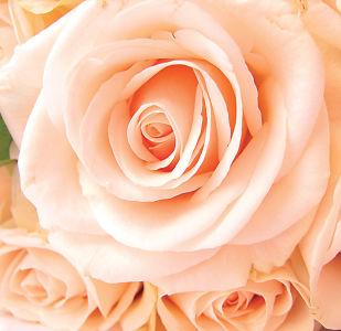 Фотообои розы 1.86 х 1.80 м (1.86x1.8-flowers-0000288)