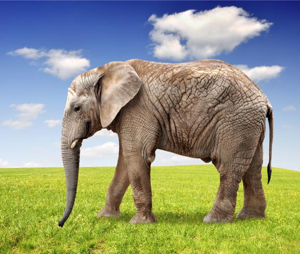 Фотообои слон на поле (animals-0000350)