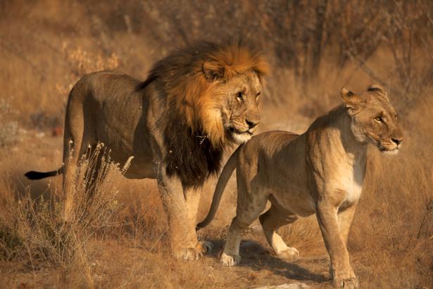 Фотообои Лев и львица сафари (animals-0000452)