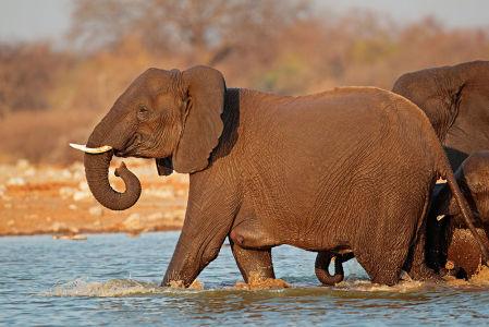 Фотообои Слон в реке (animals-547)