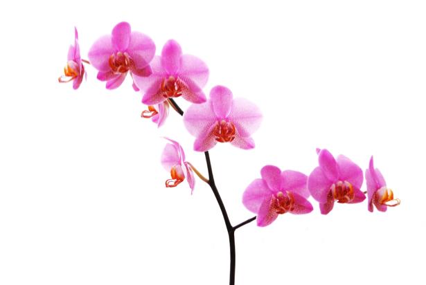 Розовая орхидея Фотообои на стену цветы (flowers-0000031)