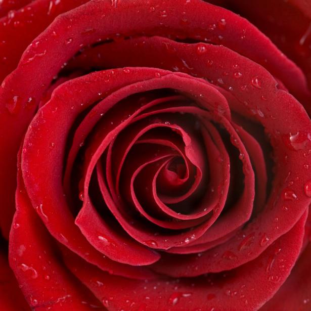 Алая, красная роза Фото обои цветок (flowers-0000072)