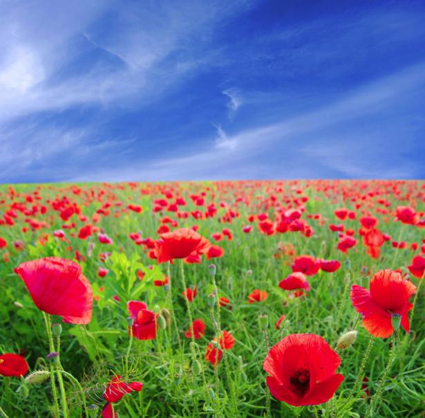 Обои фото цветы Полевые маки (flowers-0000147)