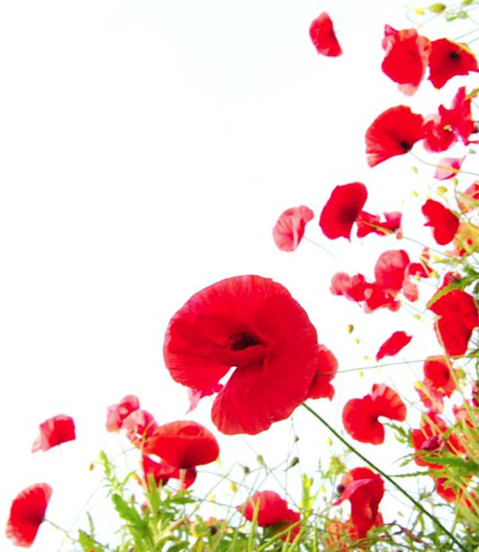 Обои фото цветы Полевые маки на белом фоне (flowers-0000152)