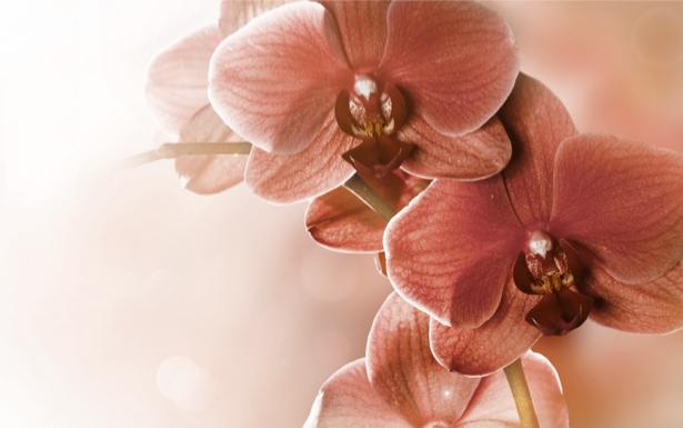 Фотообои на стену кремовые орхидеи (flowers-0000202)