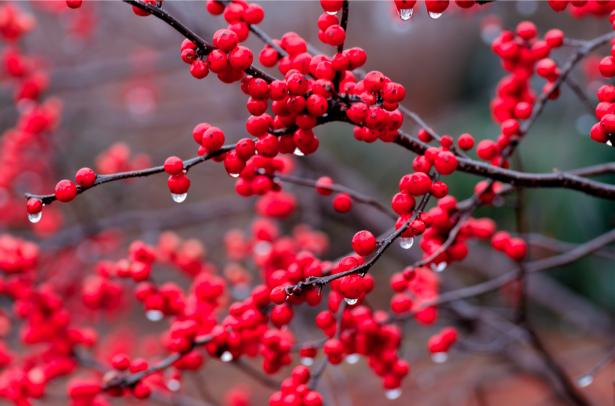 Фотообои на стену красная ягода на дереве (flowers-0000215)