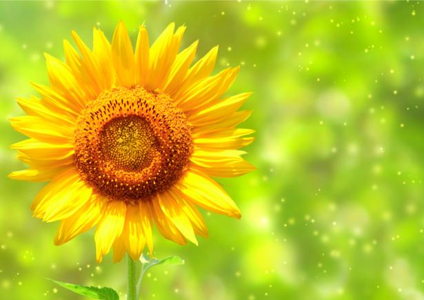 Красивые цветы фото обои Подсолнух (flowers-0000233)