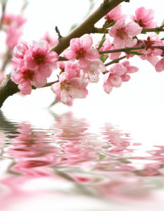 Обои фото ветки цветущего дерева (flowers-0000335)