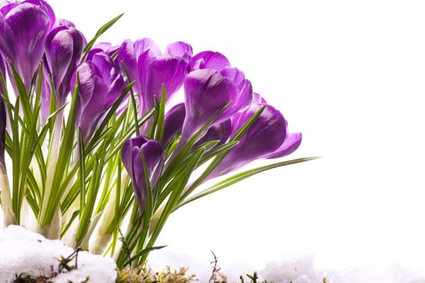 Фото обои цветок фиолетовые крокусы (flowers-0000413)