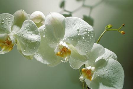 Фото обои стен Ветка белой орхидеи (flowers-0000455)