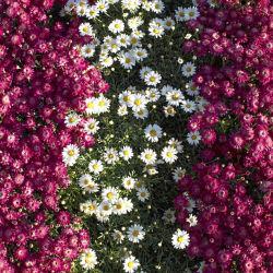 flowers-0000509