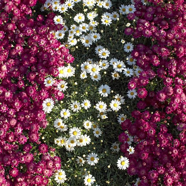 Фото обои на стену маргаритки (flowers-0000509)