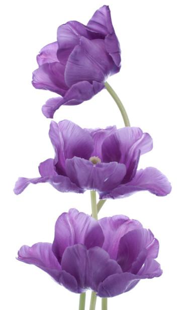 Фотообои Фиолетовые тюльпаны (flowers-739)
