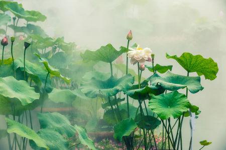 Фотообои Цветущий лотос (flowers-802)