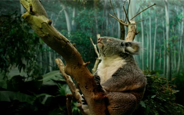 Фотообои коала в лесу (animals-0000009)