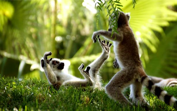 Фотообои лемуры в лесу (animals-0000066)