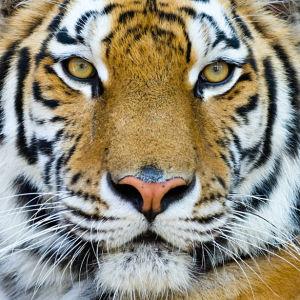 Фотообои тигриный портрет (animals-0000178)