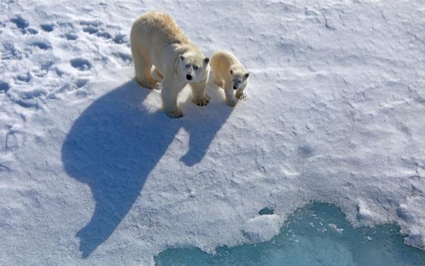 Фотообои белый медведь мама (animals-0000259)