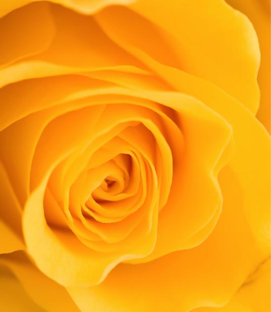 Желтая роза обои на стену цветы (flowers-0000090)